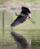 Great Blue Heron Landing.jpg
