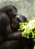 Bonobos Lucy and Lexi.jpg