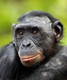 Bonobo Female2.jpg