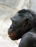 Bonobo Profile.jpg