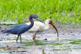Little Blue Heron and Ibis.jpg