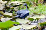 Little Blue Heron 180.jpg