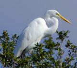 Great Egret in Tree.jpg