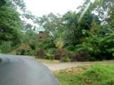 Fan Palm on Road in Roatan