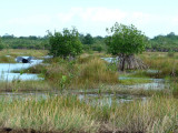 Heron in Flight Among Mangrove Trees