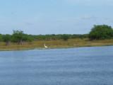 Egret in Belize