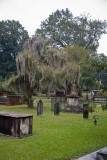 Live oak tree with Spanish moss in the DAR cemetery