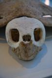 Loggerhead turtle skeleton
