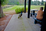 Peacock begging for some fries