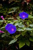 Morning Glory vine