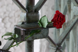 Rose in the entrance gate to the Buchenwald Concentration Camp