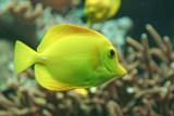 Yellow Tang in the Frankfurt Zoo Aquarium
