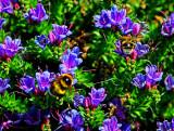 Bumble Bees on Echium.jpg