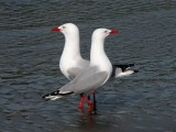 Red-billed Gulls.