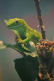 Common Gecko 2.jpg