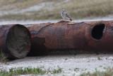 Burrowing Owl, Holly Beach