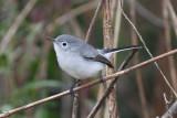 Blue-gray Gnatcatcher, Peveto Woods