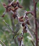 Orange-crowned Warbler, East Jetty
