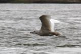 Glaucous Gull #?, 1st sighting