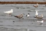Glaucous Gull #?, 2nd sighting