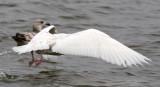 Glaucous Gull #?, 3rd sighting