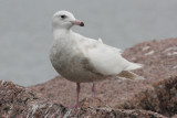 Glaucous Gull #1, 4th sighting