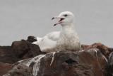 Glaucous Gull #2, 5th sighting