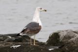 Lesser Black-backed Gull #1