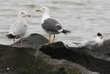 Lesser Black-backed Gull #3