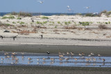 Red Knots and other shorebirds