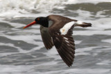 American Oystercatcher, slightly oiled