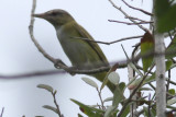 Yellow-green Vireo, Peveto Woods