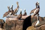 Brown Pelicans, Calcasieu River Jetties