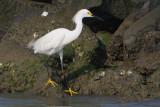 Snowy Egret, Calcasieu River Jetties