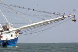 Magnificent Frigatebirds in rigging