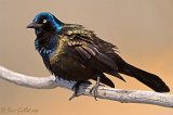Quiscale bronzé - Common Grackle - 7 photos