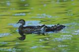 Canard branchu femelle + petits #4772.jpg