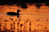 Canard colvert - coucher de soleil  #4441.jpg