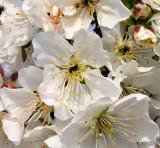 10529 Almond flowers