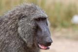 Savanna baboon - (Papio cynocephalus anubis)