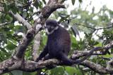 L´Hoest´s monkey - (Cercopithecus l´hoesti)