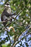 Red-tailed monkey - (Cercopithecus ascanius)