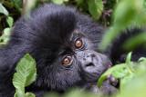 Eastern gorilla - (Gorilla berengei)