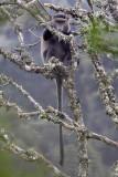 Blue monkey - (Cercopithecus nitis)
