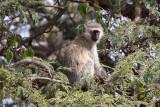 Vervet monkey - (Cercopithecus aethiops)
