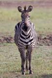 Burchell´s zebra - (Equus burchellii)