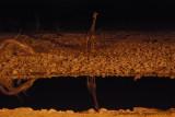 Night at Okaukuejo: giraffe