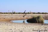 Giraffes at Chudop waterhole