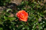 Roses - Swanes, Dural