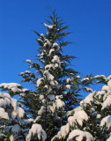 Cypress tree covered with snow